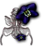 Orchid blue left